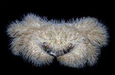 ケブカガニ(Pilumnus vespertilio )