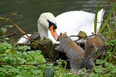 Image result for squirrel looking up at a swan