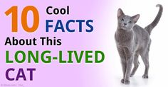 The Russian Blue cat, sometimes called the Archangel Blue, is a genetically healthy breed, with an average lifespan of 15 to 20 years. http://healthypets.mercola.com/sites/healthypets/archive/2015/02/21/russian-blue-cat.aspx