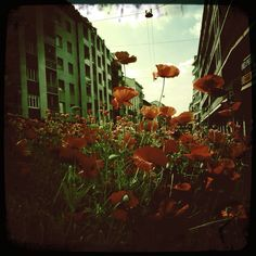 bunch of poppies & the street. Milan.