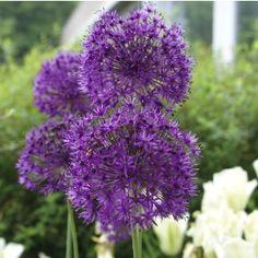 Allium Purple Sensation, alliumlökar