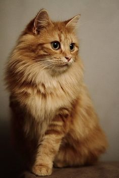 Outstanding pretty cats detail are available on our internet site. look at this and you wont be sorry you did. Cute Cats And Kittens, Cool Cats, Kittens Cutest, Ragdoll Kittens, Funny Kittens, Bengal Cats, Pretty Cats, Beautiful Cats, Animals Beautiful