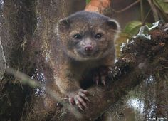 The Olinguito is a new carnivore discovered in 2013, which is a rare occurrence these days.  This animal, Bassaricyon neblina, is a member of the raccoon family (Procyonidae), and lives in parts of Columbia and Ecuador.  It turns out there were a few in U.S. zoos back in the 60s and 70s, but they were mistaken for olingos and never recognized as a different species.