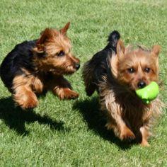 Arista Australian Terriers Australian Terrier Puppies, Norfolk Terrier Puppies, Terrier Rescue, Terriers, Washington State, Oregon, America, Dogs, Colorado