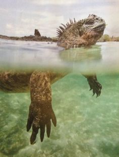 Marine Iguana...how'd you like to be swimming along and see this guy??
