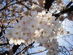 「日差しを浴びてキラキラ桜」 柿の木坂遊歩道  2012/04/09