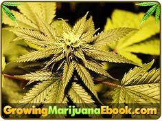 Stress And Your Marijuana Plants   http://www.growingmarijuanaebook.com/stress-weed.php