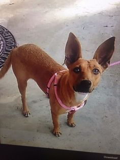 Adopt Coco On Dog Cat Pet Adoption Animal Rescue