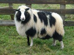 Icelandic Dalmatian Sheep