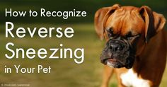 Reverse sneezing is actually a common respiratory event in many dogs. http://healthypets.mercola.com/sites/healthypets/archive/2012/12/03/reverse-sneezing.aspx