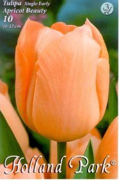 Tulipa 'Apricot Beauty' - Egyszerű virágú tulipán Holland Park, Korn, Fruit, Flowers, Plants, Beauty, Bulbs, Lightbulbs, Bulb