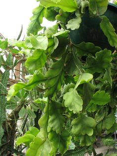 Rhipsalis oblonga - Wikipedia, the free encyclopedia