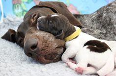 Nacimiento de los perros Distocia en los perros Distocia es el término médico utilizado para diagnosticar una experiencia de parto difícil. Esta condición puede ocurrir como resultado de factores maternos o fetales, y puede ocurrir durante cualquier etapa del parto. Las anomalías en la presentación, la postura y la posición del feto dentro del útero …