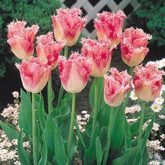 Tulip Bulbs Fringed /'Fancy Frills/' Spring Garden Bulbs Pack x10