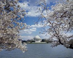 Jefferson Memorial with cherry blossoms, Washington, D.C. Photo by Carol M. Highsmith, ca. 1980-2006. Carol M. Highsmith's America, Library of Congress Prints and Photographs Division.