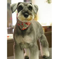summer cut for schnauzer | ... about schnauzers http www loveofbreeds com schnauzers breeders html