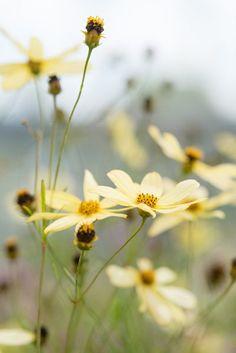 Yellow perennial Coreopsis