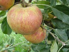 dwarf Coxs-orange-pippin apple
