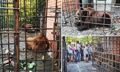 Two alcoholic bears fed beer and caged at a Russian restaurant have been saved thanks to Brigitte Bardot's animal rights charity.  A court ordered the bears to be confiscated from the restaurant in Sochi, in south-western Russia's Krasnodar Krai region, after they were found lying in a filthy cage surrounded by rubbish.  The pair developed drinking problems after customers were permitted to buy them beer...