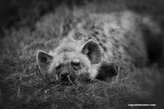 Spotted Hyena - Kenya Looking for all the world like butter wouldn't melt in it's mouth. A much maligned, but beautiful animal. Hope this shows it in a better light? http://worldwide-birding-tours.com/