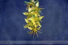 #Flores de #Sedum #palmeri #analopezheredia