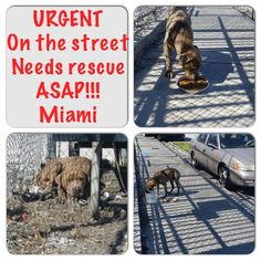 URGENT! On the streets!!! Needs rescue first thing in morning. PLEASE!! Courtesy post, msg us if any rescue can help. Located in Miami and starving The person who took the picture cannot take him home she needs an option! Please keep sharing!!! Not everyone lives in placing where they can take home a big dog, they need our help!! She's willing to help get him vetted https://www.facebook.com/urgentdogsofmiami/photos/pb.191859757515102.-2207520000.1422507686./918656551502082/?type=3&theater