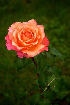 Rose ~ By Dzhambulat Tkhazaplizhev