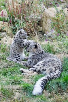 Beautiful Snow Leopard and playful baby ! #BigCatFamily