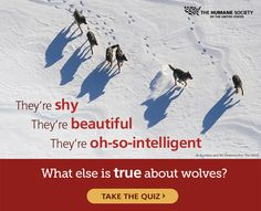 Take Our Wolf Quiz! See Howwwl You Do.