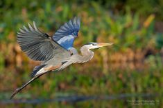 Heron Tattoo, Bird Puppet, Animal Totems, Blue Heron, Bird Art, Bird Feathers, Wildlife Photography, Beautiful Birds, Art Blog