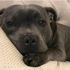 Cute Funny Animals, Cute Baby Animals, Animals And Pets, Cute Dogs And Puppies, I Love Dogs, Doggies, Blueline Pitbull, Pitbull Terrier, Beautiful Dogs