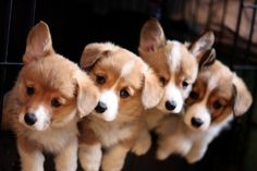 I raised puppies for 15 years with my family. Corgis were our first love, but then half of us developed an allergy to their hair. We eventually switched to French Bulldogs and breathed much easier. At the height of our breeding program, there were as many as eight adult dogs, but I preferred to keep the number closer to four or five for sanity's …