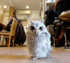 Another cutie from the London Owl Bar: http://www.awesomelycute.com/2015/02/london-opens-a-bar-where-you-can-pet-owls/
