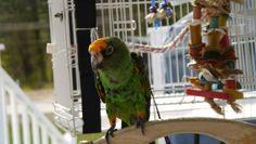 $$ 1000.00 REWARD Lost 2015-07-02: Jardine Parrot / Bird in Winchester, New Hampshire, NH, United States | Lost & Found Ref# L20524