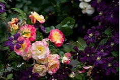 Rosa 'Jacob's Robe' with deep purple clematis ('Jackmanni'?)