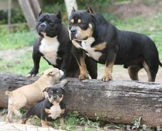 https://www.petclube.com.br/american-bully-exotic-bully.html