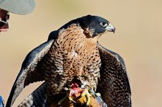 "Falconer and wildlife rehabilitator Matthew Mitchell shows one of his Peregrine Falcon's eating behavior. Note the wings are protecting the ""kill"". The Peregrine did not kill this meal but enjoyed it nonetheless. 