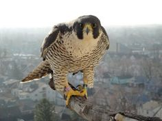 peregrine falcon-- The fastest animal known, a beatiful sight, my favorite animal, and a rare raptor. ❤️