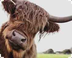 Cute Baby Cow, Baby Cows, Cute Cows, Cute Baby Animals, Farm Animals, Animals And Pets, Funny Animals, Baby Elephants, Wild Animals