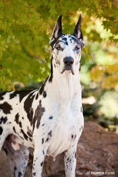 Harlequin Great Dane, also known as German Mastiff or Danish Hound!@