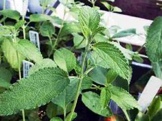 Mexican Oregano Plant in the Greenhouse Oregano Plant, Magic Herbs, Miniature Trees, Mexican Cooking, Garden Shop, Herb Garden, Perennials, Plant Leaves, Gardening