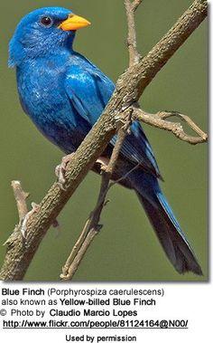 Blue Finches, Porphyrospiza caerulescens
