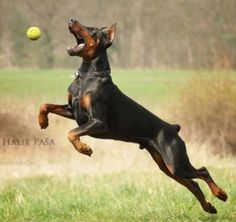 Anything for that ball #Doberman #dog
