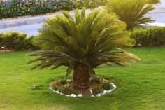 Sago Palm Outdoor Care: Can Sagos Grow In The Garden -  Can Sagos grow in the garden? Growing Sago palms outdoors is only suitable in USDA zones 9 to 11. However, there are ways to raise a Sago outside even for northern gardeners. This article will help get you started.
