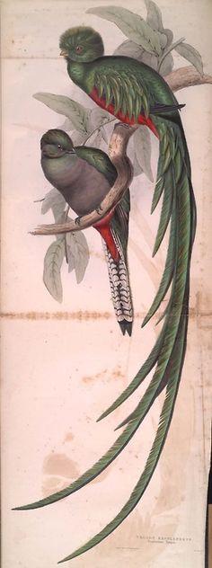 Quetzal, (Trogon) resplendens,  A monograph of the Trogonidae, or family of trogons (1838)