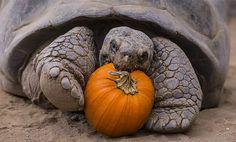 Tartaruga 'comemora' Halloween nos EUA (Foto: REUTERS/Ken Bohn/San Diego Zoo)