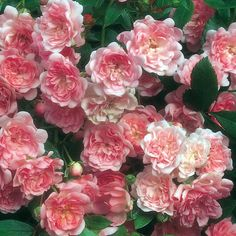 'The Fairy' shrub rose bears bouquets of tiny flowers resembling soft pink pompoms.Flowering is late, but then almost continuous.Robust, reliable, and disease-free.