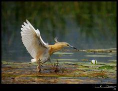 Defsad - Denizli Fotoğraf Sanatı Derneği         Alaca Balıkçıl / Squacco Heron