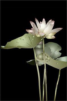 Lotus Flower, via Bahman Farzad Water Flowers, My Flower, Flower Art, Flower Power, Pink Flowers, Beautiful Flowers, Lotus Flower Images, Pink Lotus, White Lilies