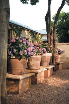 Hydrangea plants in large terracotta pots Hydrangea Potted, Hortensia Hydrangea, Boxwood Garden, Garden Pots, Potted Garden, Garden Steps, Potted Plants, Beautiful Gardens, Beautiful Flowers